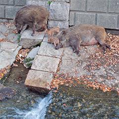 天上川の猪の写真