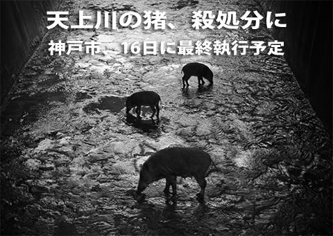 天上川の猪、殺処分に 神戸市、16日に最終執行予定